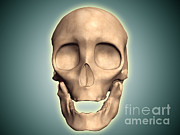 Frontal Bones Framed Prints - Conceptual Image Of Human Skull, Front Framed Print by Stocktrek Images