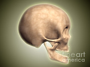Human Body Parts Posters - Conceptual Image Of Human Skull, Side Poster by Stocktrek Images