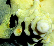 Conch Photos - Conch 4 by Randall Weidner