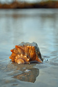 Reflection In Water Photo Prints - Conch Shell and Reflection on Jekyll Islands Beach Print by Bruce Gourley