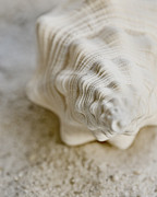 Soft Focus Art - Conch Shell by Kelly Simpson