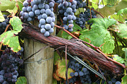 Concord Grapes Metal Prints - Concord Purple Metal Print by Wendy Raatz Photography