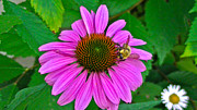 Brittany Perez Metal Prints - Cone Flower an Bumble  Metal Print by Brittany Perez