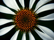 Cone Flowers Framed Prints - Cone Flower Swirl  Framed Print by Emilio Lovisa
