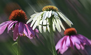Barbara Smith Metal Prints - Cone Flowers Metal Print by Barbara Smith