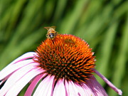 Flower Display Prints - Coneflower and Friend Print by Cheryl Hardt
