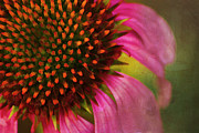 Gardening Photography Framed Prints - Coneflower Framed Print by Darren Fisher