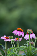Kaypickens.com Metal Prints - Coneflower Metal Print by Kay Pickens