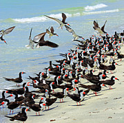 Beach Wildlife Posters - Congregating Skimmers Poster by Carol Groenen