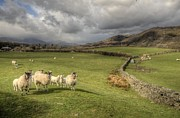 Dry Lake Prints - Coniston Sheep  Print by Rob Hawkins