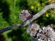 Dragonflies Art - Consumate Romantic by Donna Blackhall