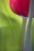 Nature Study Metal Prints - Contemporary Tulip Close Up Metal Print by Natalie Kinnear