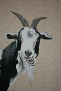 Goat Drawings - Content by Dee Mccluskey