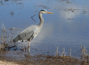 Wading Bird Framed Prints - Content Heron Framed Print by Angie Vogel