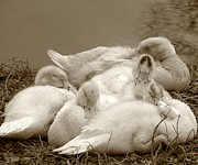 Ducklings Framed Prints - Content Sepia Framed Print by Tessa Fairey