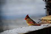Wanda Jesfield - Contented Female Cardinal