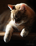 Tabby Cat Posters - Contentment Poster by Renee Forth Fukumoto