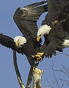 Eagle Metal Prints - Contested Perch Metal Print by Tim Grams