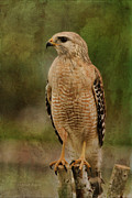 Shoulder Prints - Convenience Store Hawk Print by Deborah Benoit