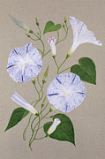 Grey Background Prints - Convolvulus Cneorum Print by Frances Buckland