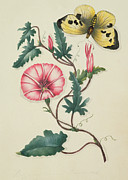 Horticultural Posters - Convolvulus with Yellow Butterfly Poster by English School