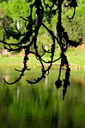 Branch Hill Pond Prints - Cook Lake Hanging Moss Print by Kerri Huven