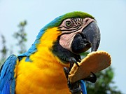 Parrots Photos - Cookie Delight by Karen Wiles