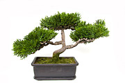 Bright Colors Pyrography Prints - Cool Bonsai Tree Print by Boon Mee
