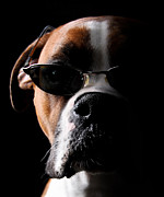 Boxer Posters - Cool Dog Poster by Jt PhotoDesign