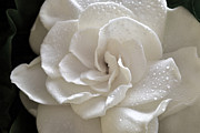 Gardenia Photos - Cool Gardenia by Terence Davis