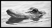 Gator Metal Prints - Cool Gator - Black and White Metal Print by Carol Groenen