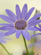 Pericallis Photo Posters - Cool Senetti Poster by Dorothy Lee