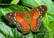 Orange And Brown Wings Prints - Coolie Butterfly Print by Millard H. Sharp