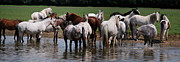 Horse Herd Photo Prints - Cooling Off Print by Elizabeth Oliver
