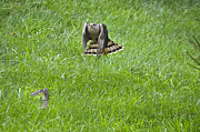 Dan Friend - Cooper hawk chasing a sparrow