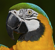 Blue And Gold Macaw Prints - Cooper... Print by Nina Stavlund