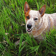 Meghan at  FireBonnet Designs - Cooper the Red Heeler