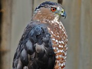 Back Yard Birds Framed Prints - Coopers Hawk 3 Framed Print by Helen Carson