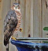 Back Yard Birds Framed Prints - Coopers Hawk 4 Framed Print by Helen Carson