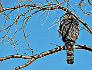 Conservation Art Poster Posters - Coopers Hawk Poster by Barbara Chichester