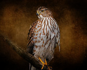 Hawk Art Prints - Coopers Hawk Portrait 1 Print by Jai Johnson