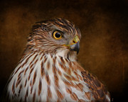 Hawk Art Prints - Coopers Hawk Portrait 2 Print by Jai Johnson