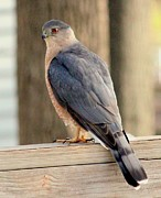 Coopers Photos - Coopers Hawk by Rosanne Jordan