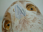 Bird Of Prey Art Paintings - Coopers Hawk by Sherry Matlack