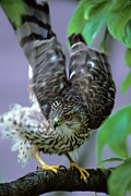 Stretching Wings Posters - Coopers Hawk Stretching Poster by Gerald Marella