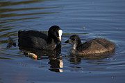 Mick Gosling - Coot and chick.