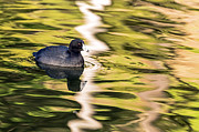 Kate Brown Metal Prints - Coot Reflected Metal Print by Kate Brown