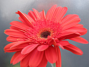 Addie Hocynec Art Photos - Coral Gerber Daisy by Addie Hocynec