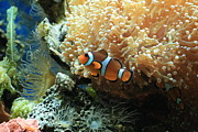 Clown Fish Photos - Coral Home by Paula Pizarro