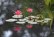 Amphibian Greeting Card Posters - Coral Lotus Blossoms with Frog Poster by Suzanne Gaff